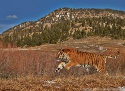 Tiger 2014-18copyright-photographers-on-safari-com