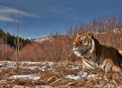Tiger 2014-19copyright-photographers-on-safari-com