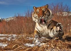 Tiger 2014-20copyright-photographers-on-safari-com
