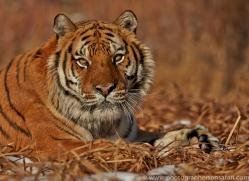 Tiger 2014-21copyright-photographers-on-safari-com