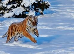 Tiger 2014-22copyright-photographers-on-safari-com