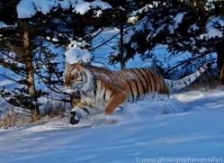 Tiger 2014-23copyright-photographers-on-safari-com