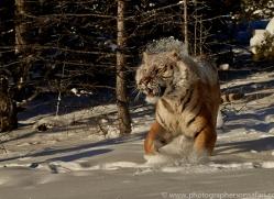 Tiger 2014-26copyright-photographers-on-safari-com