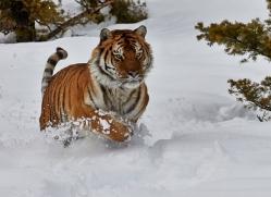 Tiger 2014-30copyright-photographers-on-safari-com