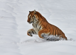 Tiger 2014-31copyright-photographers-on-safari-com