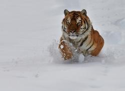 Tiger 2014-32copyright-photographers-on-safari-com