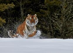 Tiger 2014-35copyright-photographers-on-safari-com