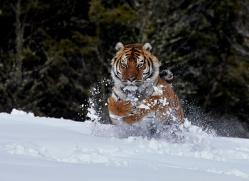Tiger 2014-40copyright-photographers-on-safari-com