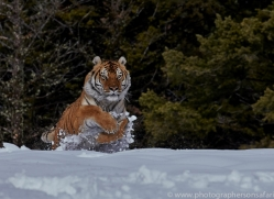 Tiger 2014-41copyright-photographers-on-safari-com