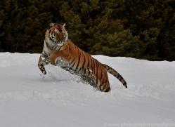Tiger 2014-45copyright-photographers-on-safari-com