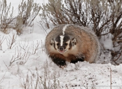 badger-3643-montana-copyright-photographers-on-safari-com