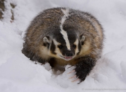 badger-3644-montana-copyright-photographers-on-safari-com