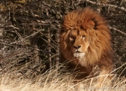 barbary-lion-3655-montana-copyright-photographers-on-safari-com