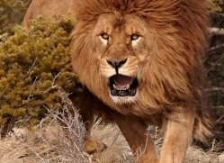 barbary-lion-3657-montana-copyright-photographers-on-safari-com
