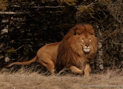barbary-lion-3658-montana-copyright-photographers-on-safari-com