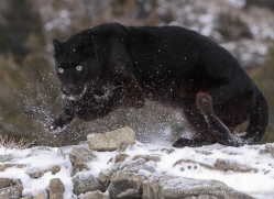 black-leopard-3648-montana-copyright-photographers-on-safari-com