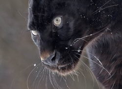 black-leopard-3650-montana-copyright-photographers-on-safari-com