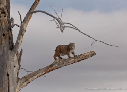 bobcat-3615-montana-copyright-photographers-on-safari-com