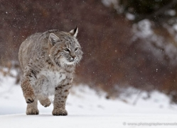 bobcat-3616-montana-copyright-photographers-on-safari-com