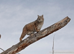 bobcat-3617-montana-copyright-photographers-on-safari-com