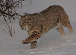 bobcat-3620-montana-copyright-photographers-on-safari-com