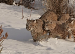 bobcat-3621-montana-copyright-photographers-on-safari-com