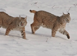 bobcat-3623-montana-copyright-photographers-on-safari-com
