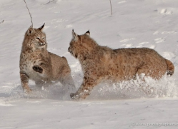 bobcat-3624-montana-copyright-photographers-on-safari-com