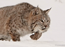 bobcat-3625-montana-copyright-photographers-on-safari-com