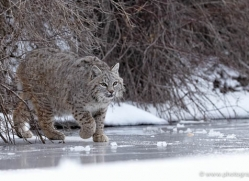 bobcat-3627-montana-copyright-photographers-on-safari-com