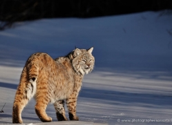 bobcat-3628-montana-copyright-photographers-on-safari-com