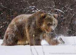 brown-bear-3510-montana-copyright-photographers-on-safari-com