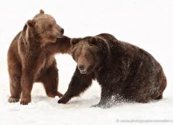 brown-bear-3513-montana-copyright-photographers-on-safari-com