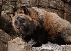 brown-bear-3514-montana-copyright-photographers-on-safari-com
