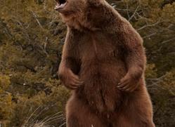 brown-bear-3515-montana-copyright-photographers-on-safari-com