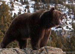 brown-bear-3518-montana-copyright-photographers-on-safari-com