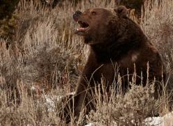 brown-bear-3520-montana-copyright-photographers-on-safari-com