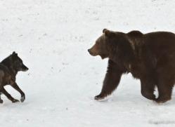 brown-bear-3638-montana-copyright-photographers-on-safari-com