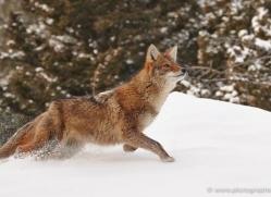 coyote-3666-montana-copyright-photographers-on-safari-com