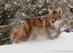 coyote-3667-montana-copyright-photographers-on-safari-com