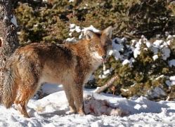 coyote-3669-montana-copyright-photographers-on-safari-com