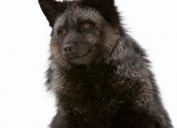cross-fox-3672-montana-copyright-photographers-on-safari-com