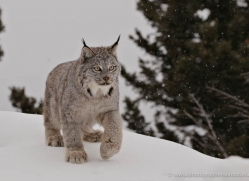 lynx-3631-montana-copyright-photographers-on-safari-com