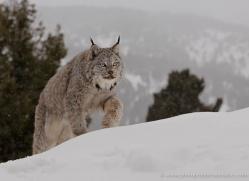 lynx-3632-montana-copyright-photographers-on-safari-com