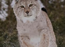 lynx-3634-montana-copyright-photographers-on-safari-com