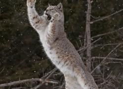 lynx-3635-montana-copyright-photographers-on-safari-com