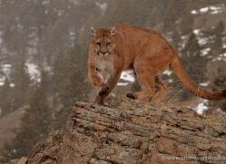 mountain-lion-puma-3533-montana-copyright-photographers-on-safari-com