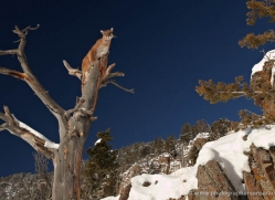 mountain-lion-puma-3534-montana-copyright-photographers-on-safari-com
