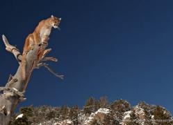 mountain-lion-puma-3535-montana-copyright-photographers-on-safari-com