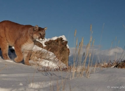 mountain-lion-puma-3538-montana-copyright-photographers-on-safari-com